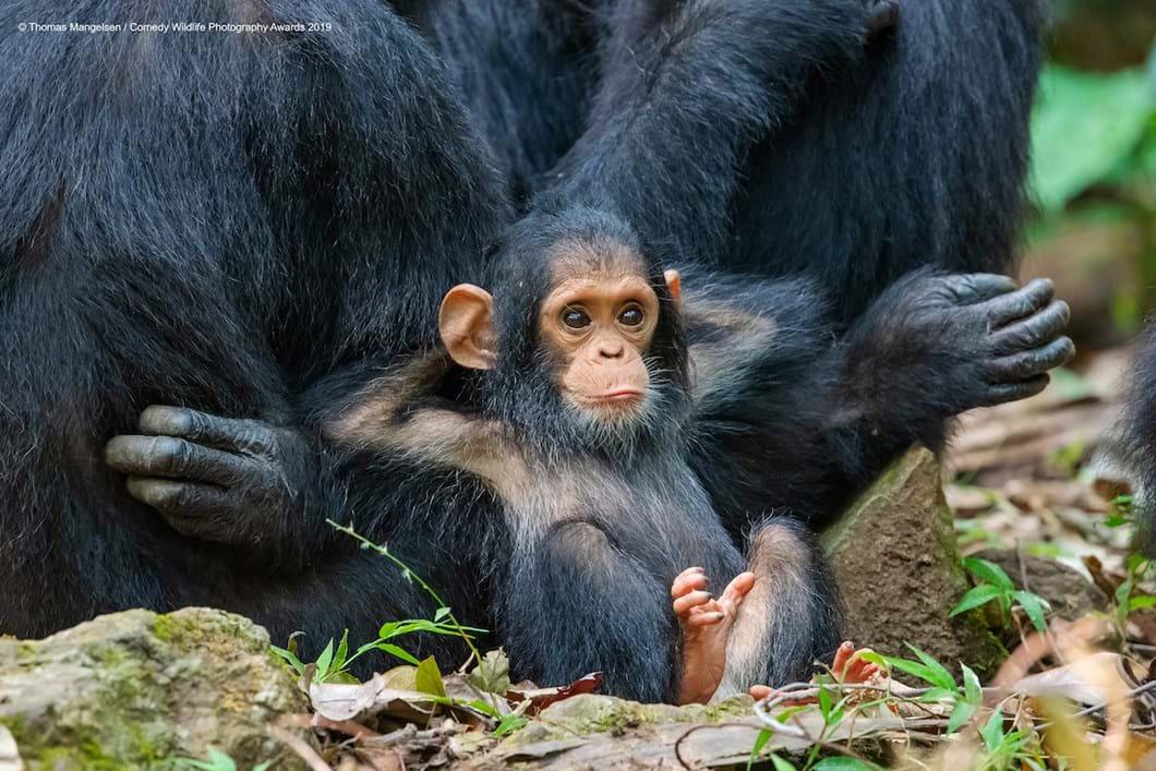 Thomas-Mangelsen-chimpanzee_2019-11-13.jpg