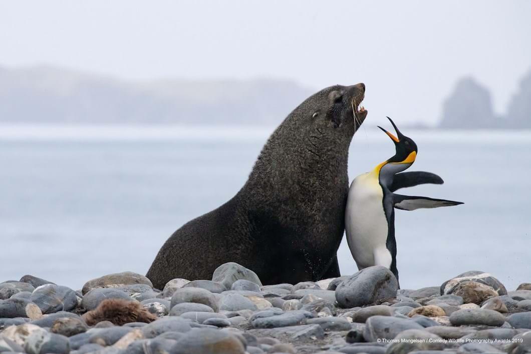 Thomas-Mangelsen_chest-bump-penguin-fur-seal_2019-11-13.jpg