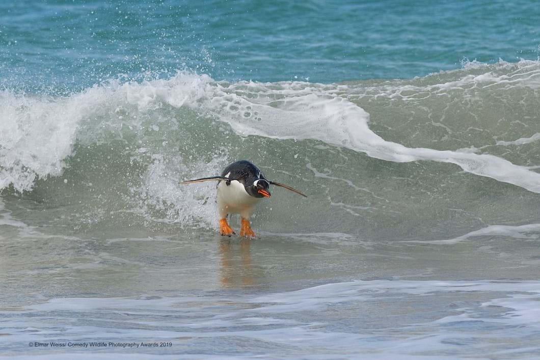 Elmar-Weiss-penguin-surfing_2019-11-13.jpg