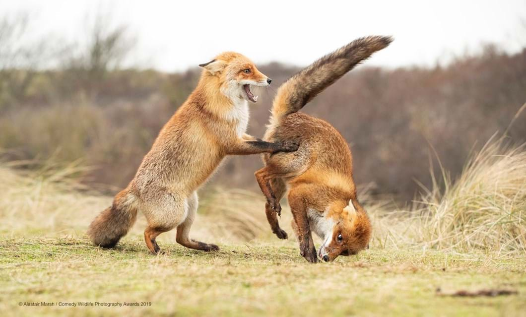 Alastair-Marsh_Waltz-foxes_2019-11-13.jpg
