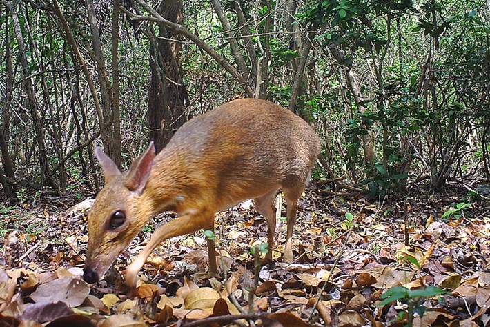 'Lost' species of fanged mouse-deer rediscovered after almost three decades