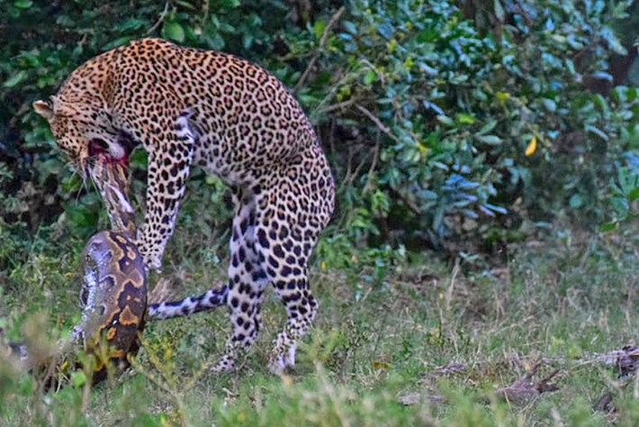 leopard-vs-python_2019-11-22.jpg