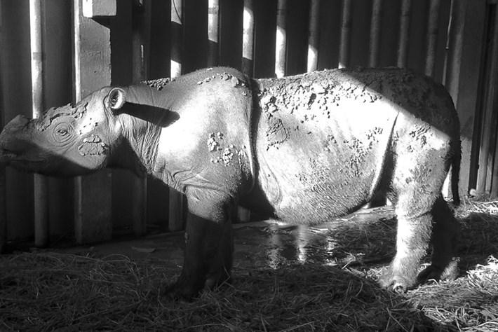 Malaysia says goodbye to its last Sumatran rhino