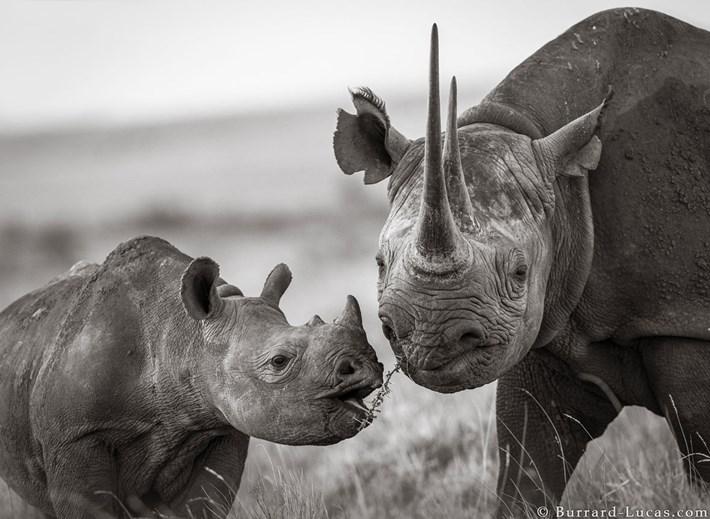 black-rhino-calf-mother_2019-12-03.jpg