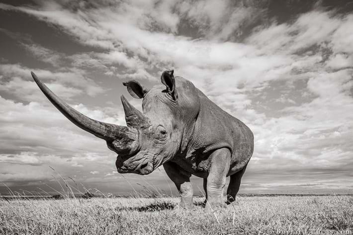 white_rhino-standing_2019-12-03.jpg