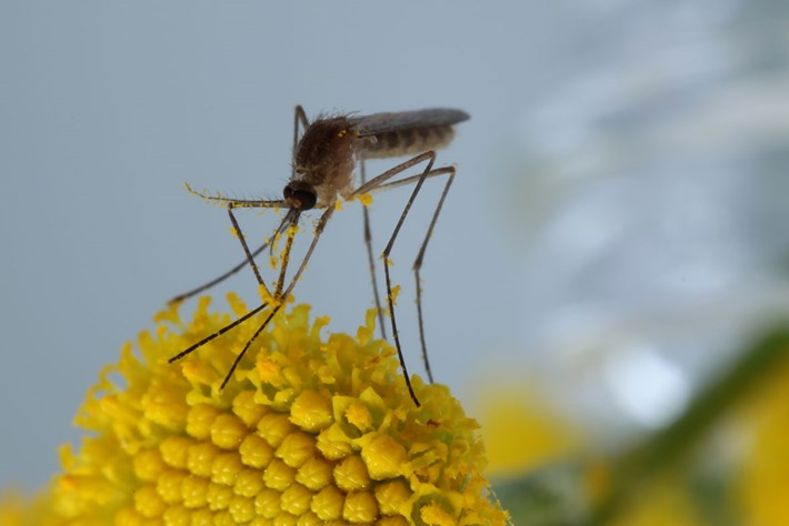 mosquito-tansy-pollen_2019-12-05.jpg