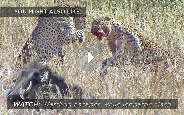 leopards-warthog-related-content_2019-12-11.jpg