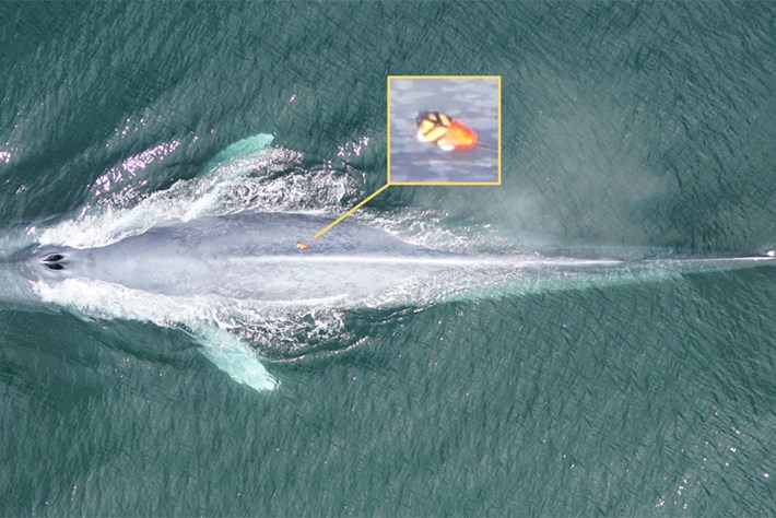 Why are whales big, but not bigger?