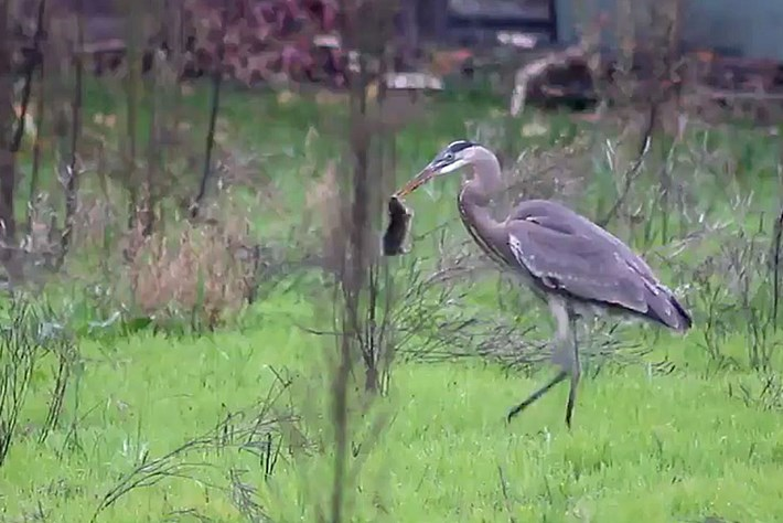WATCH: Heron loses its lunch to a marauding hawk
