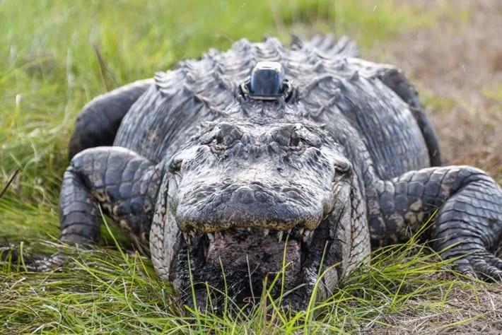 alligator-hat-tracker_page_2020-01-06.jpg