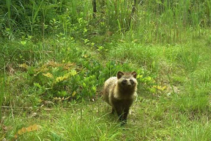 raccoon-dog-fukushima_page_2020-01-10.jpg