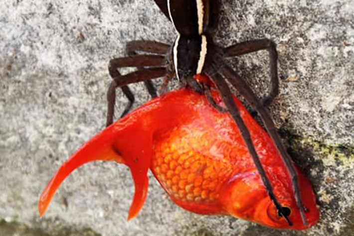 In photos: Spider plucks pet goldfish out of backyard pond