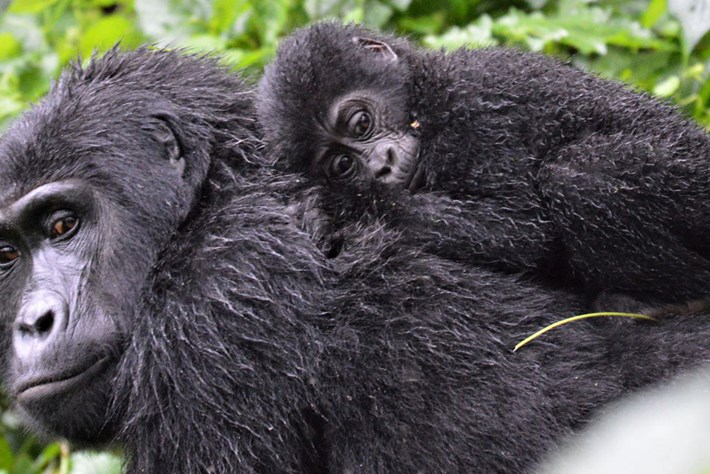 We don't know how many mountain gorillas live in the wild. Here's why ...