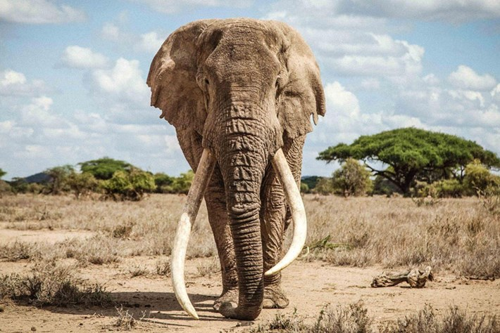 RIP Tim the tusker: Kenya says farewell to one of Africa's most iconic elephants