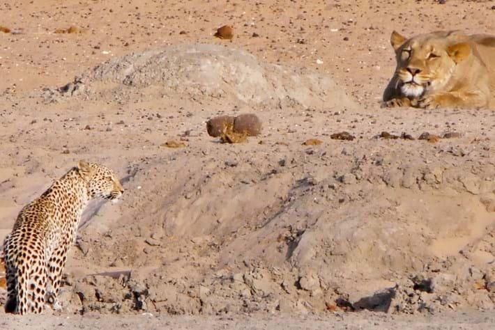 lion-leopard-etosha_page_2020-02-11.jpg
