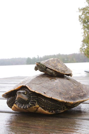 turtles_size-difference_2020-02-12.jpg