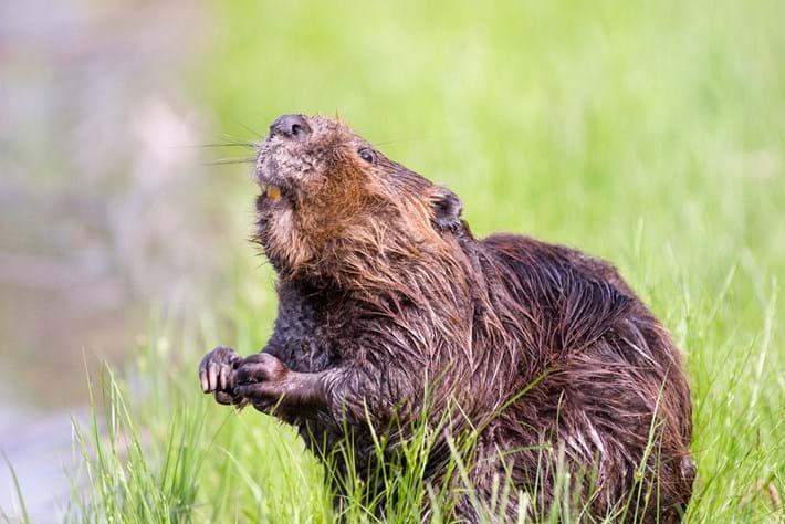beaver_2020-02-14.jpg