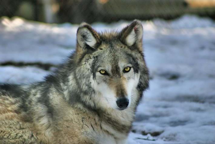 grey-wolf_2020-02-14.jpg