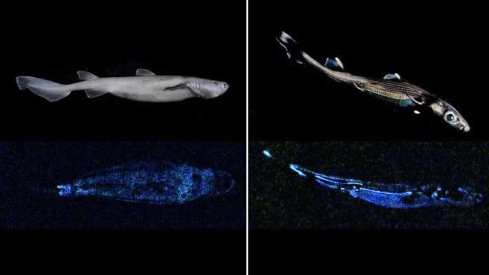 Seal_shark_left__lucifer_dogfish_right_2020-02-20.jpg