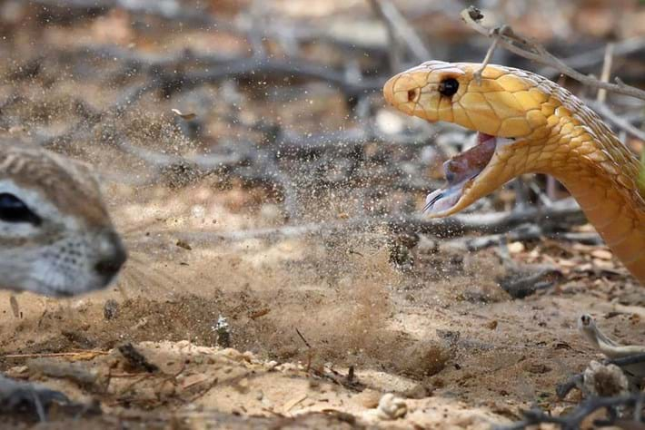 cape-cobra-squirrel_page_2020-03-06.jpg