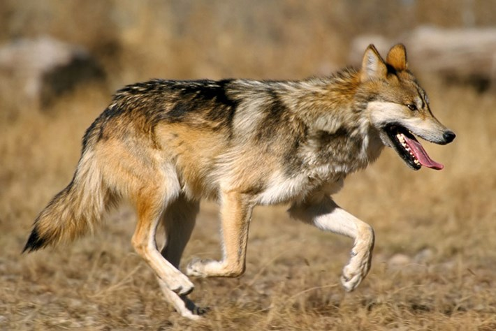 Good news for Mexican grey wolves as numbers increase by 24 percent