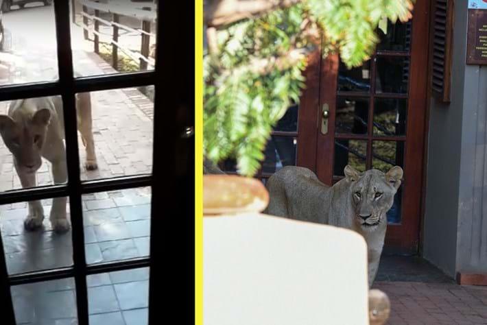 lion-pilanesberg-centre_2020-03-24.jpg