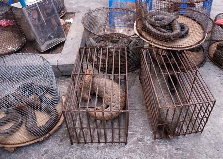 pangolin-wildlife-trade_2020-03-24.jpg