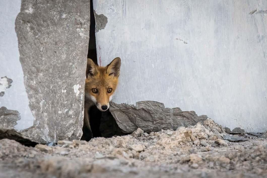 Matej-Borjancic-fox_2020-03-31.jpg