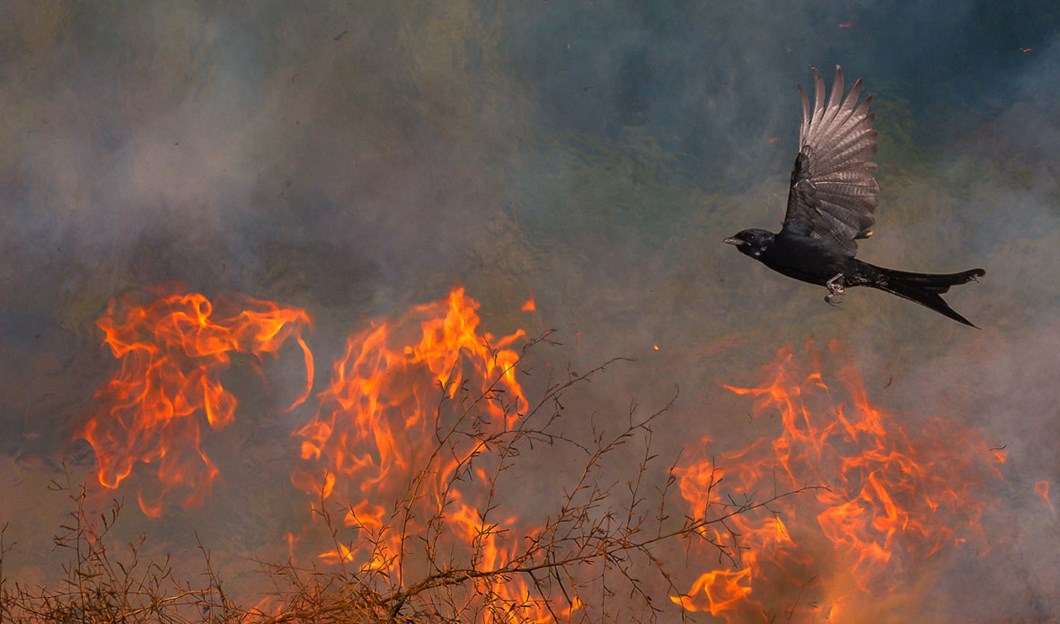 Saptarshi-Gayen-drongo-fire_2020-03-31.jpg