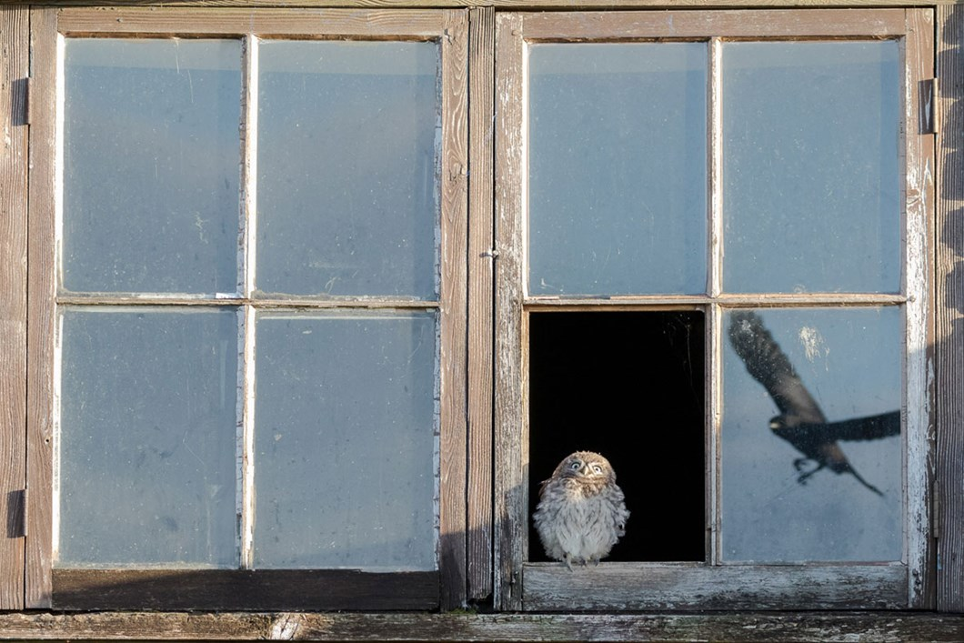 Paul-Holman-owl-jackdaws_2020-03-31.jpg