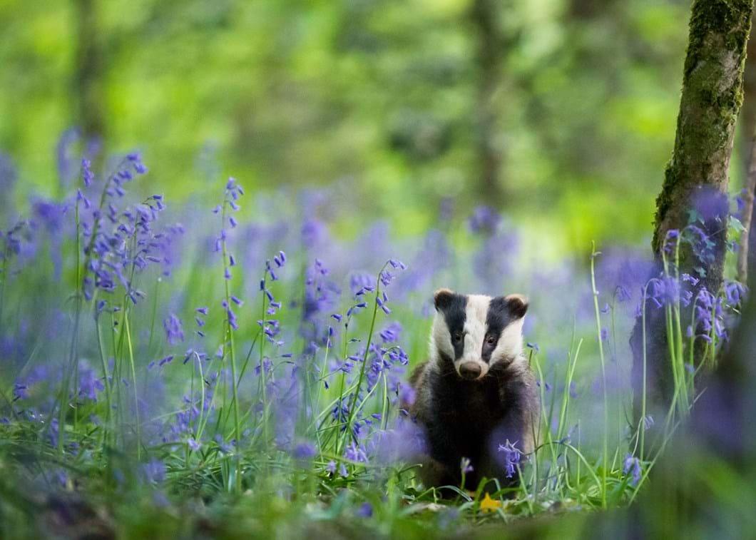 Dave-Hudson-badger_2020-03-31.jpg