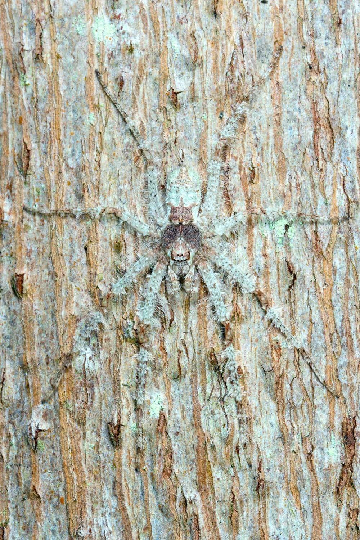 Caitlin-Henderson-huntsman-spider_2020-03-31.jpg