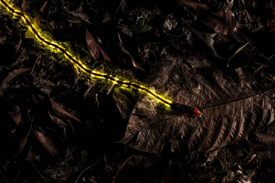 Christian-Wappl-firefly-larva_2020-03-31.jpg