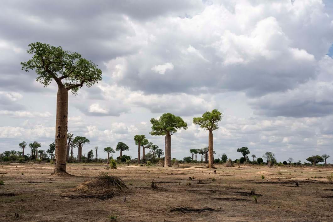 baobabs-Menabe-Antimena-Protected-Area_2020-04-02.jpg