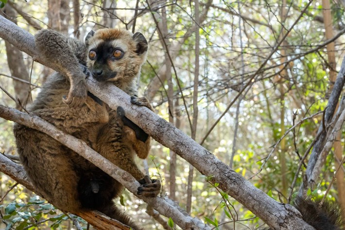 red-fronted-lemur_page_2020-04-02.jpg