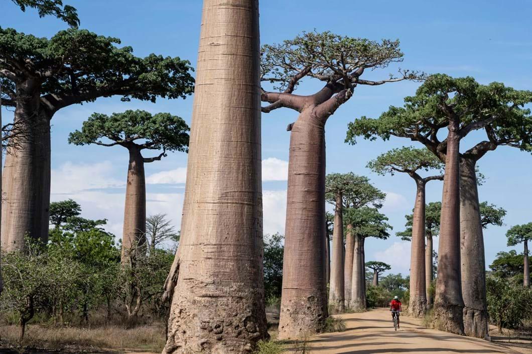 Avenue-of-the-Baobabs-Madagascar_2020-04-02.jpg
