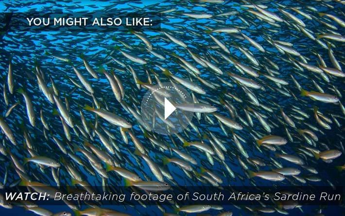 sardine-run-related-content_2020-04-09.jpg