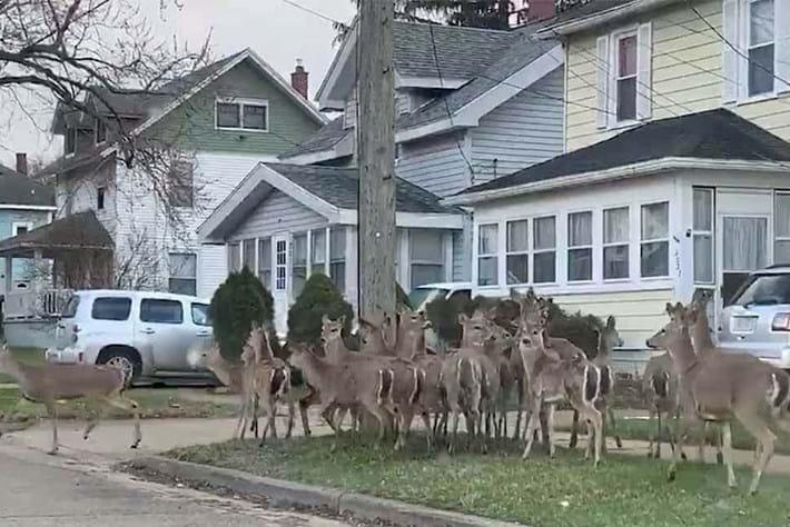 Deer filmed roaming the suburbs as US streets go quiet during lockdown