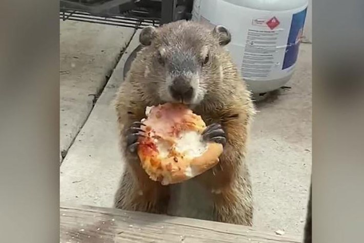 Step aside, pizza rat. This dog-ignoring, carb-loving groundhog just munched its way to viral fame