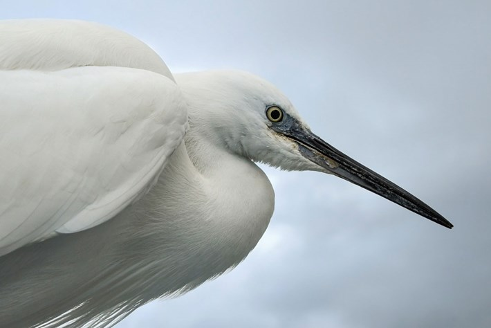 little-egret_2020-04-21.jpg