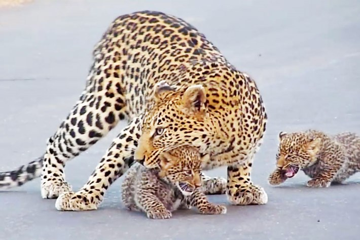 Watch: Mama leopard teaches her tiny cubs how to cross the road