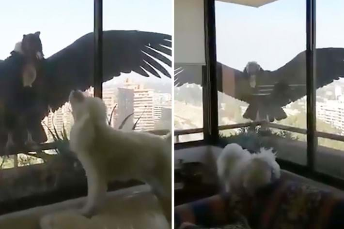 Watch: Pet poodles go barking mad when condors swoop in for a visit