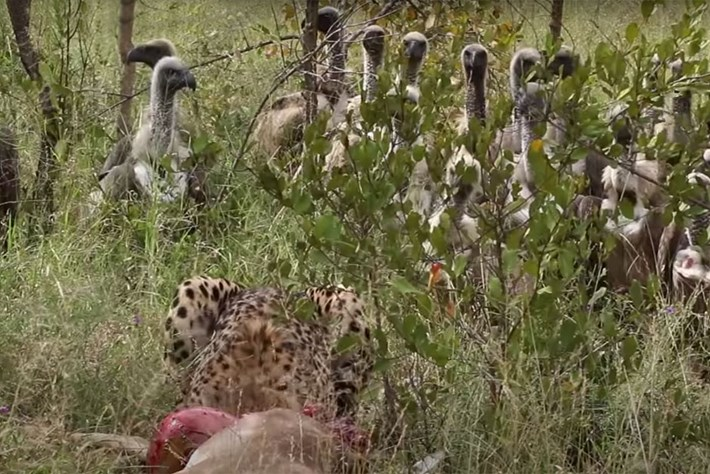 Watch: Feasting cheetah overpowered by vulture horde, lion charges in to claim free meal
