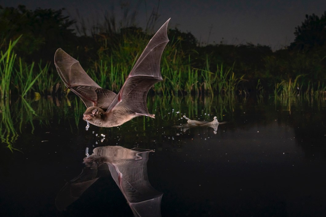 bat-drinking_2020-05-18.jpg