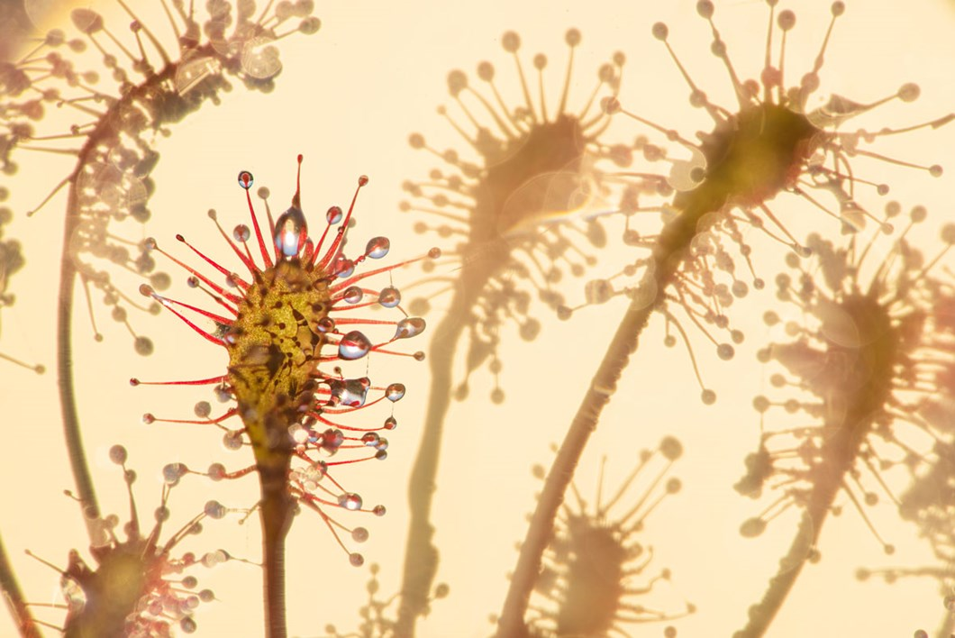 sundew-close-up_2020-05-18.jpg