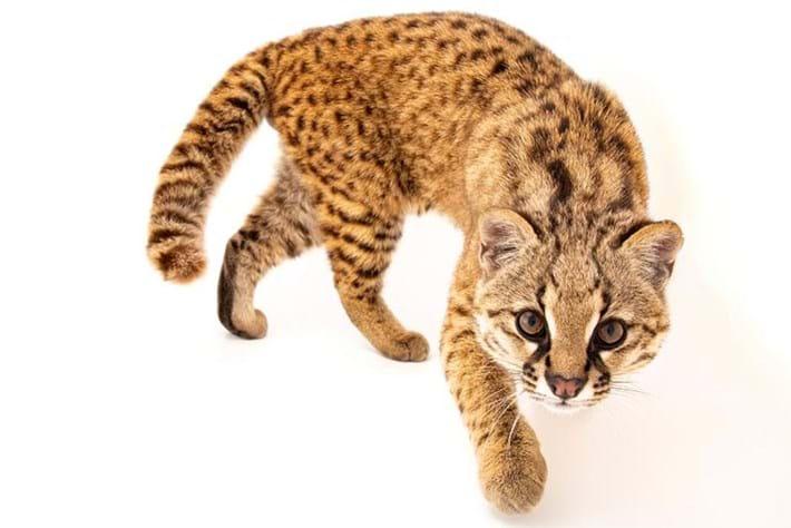 Introducing the güiña: a tiny, adorable wild cat that chirps like a bird
