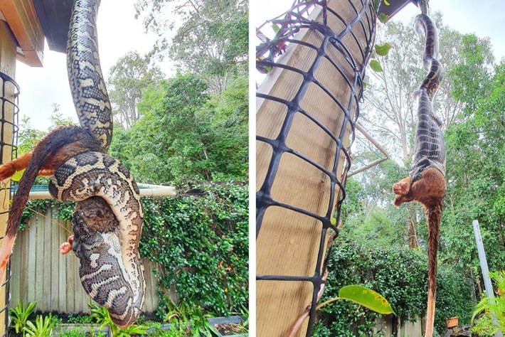 Another day, another upside-down python eating a possum in Australia (video)