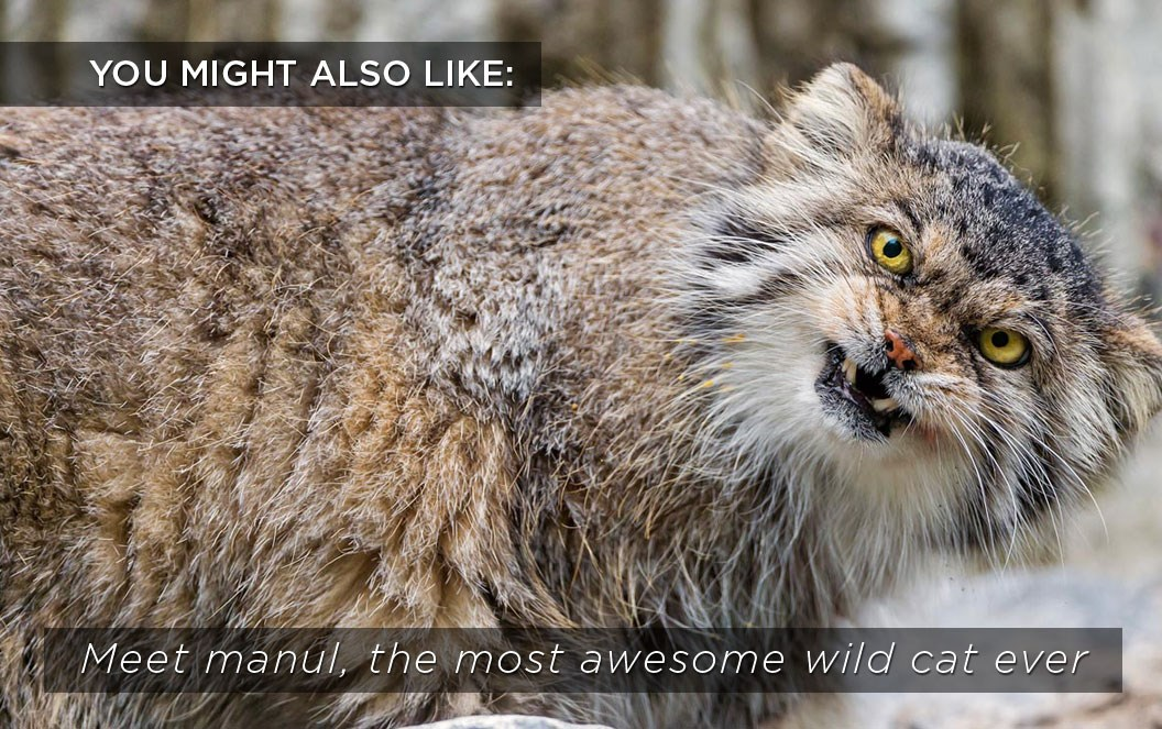 manul-wild-cat-related-content_2020-05-21.jpg