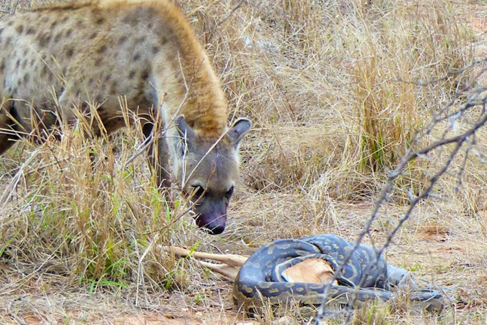 Watch: Python loses its impala lunch to a thieving hyena