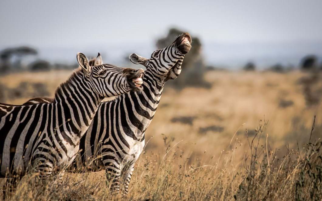Tanvir-Ali-laughing-zebras_2020-05-26.jpg